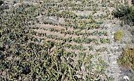 Gazipaşa'da heyelan muz bahçelerini vurdu