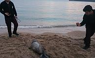 Ölü bulunan Akdeniz Fokuna nekropsi yapıldı