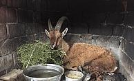 Vurularak yaralanmış yaban keçisi bulundu
