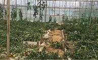 Alanya'da bir gecede domates serasını 100 bin TL zarara uğrattılar!
