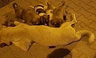 Öldürülen köpeği yavruları kaldırmaya çalıştı
