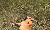 7 yavrusu bulunan köpek tüfekle vurularak öldürüldü