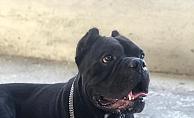 Alanya'da kaybolan köpek aranıyor