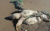 Balıkçı ağına takılıp ölen caretta caretta kıyıya vurdu