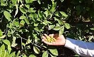 Çöl sıcakları narenciye ve zeytini vurdu, rekoltede yüzde 50 düşüş bekleniyor