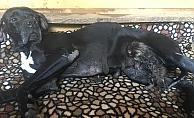 Yavruları ölen köpeğin yeni doğmuş kediye anne şefkati