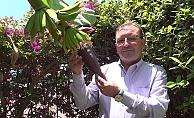 Alanya'da tropikal meyvecilik ilgi odağı oldu