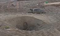 Alanya'da caretta carettalar yumurtlama dönemi sürdürüyor