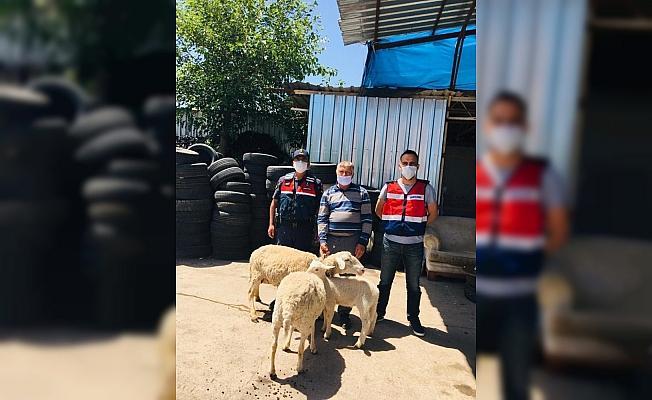 Kiralık araçla koyun çalan hırsızlar yakalandı