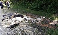 Büyük vicdansızlık! Ormanda 12 köpek ölüsü bulundu