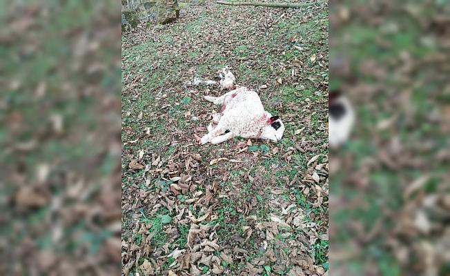 Aç kalan kurtlar koyunlara saldırdı