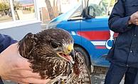 Jandarma yaralı atmacayı hayvan barınağına teslim etti