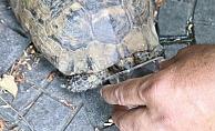 Sıcaktan bunalan kaplumbağaya polis şefkati