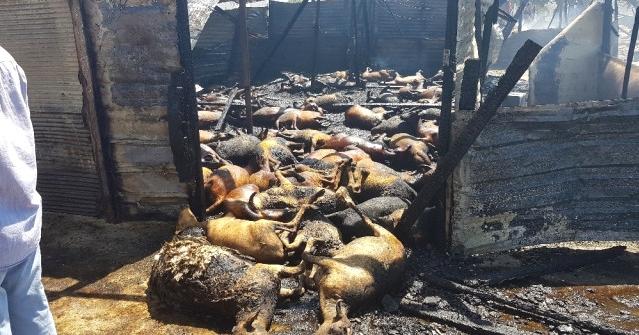 Trafodan Çıkan Yangında 550 Hayvan Telef Oldu