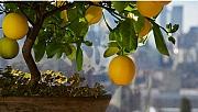 Evde limon ağacı nasıl yetiştirilir?